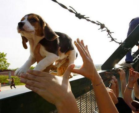 כלב ביגל שניצל בפעולת שחרור ממתקן הרבעת כלבים עבור ניסויי מעבדה.  למידע נוסף : http://www.greenisthenewred.com/blog/italy-dog-breeder-rescue-photos/5974/